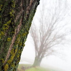 Bark and tree in foggy weather in November