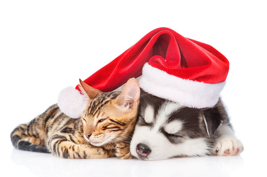 Siberian Husky puppy in red christmas hat sleep with bengal kitten. isolated on white background