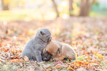 Tiny kitten and mixed breed puppy sleep together on autumn leaves at sunset
