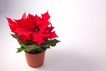 Christmas Poinsettia Plant Isolated on White Background.