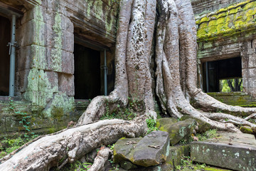 Spung tree on ruins of Ta Prohm jungle temple in Angkor, Cambodia