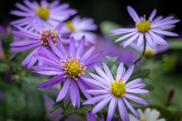 Closeup of purple daisy flowers as a decorative gardening pot plant, selective focus