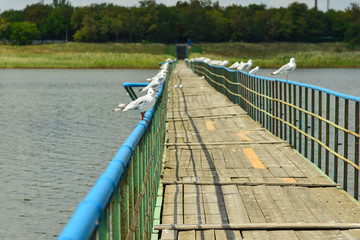 Many seagulls sit on the railing of the bridge passing through the pond.