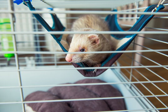 Beige ferret resting in his cage. Home pet concept. View through grid. Selective focus. copy space.