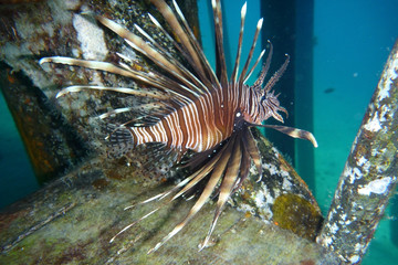 lionfish on coral in the sea