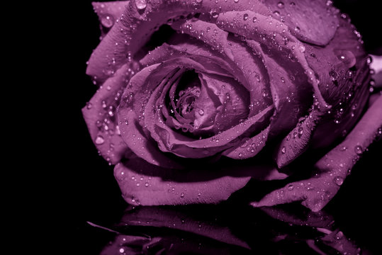 lilac rose background black water
