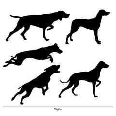 Vizsla breed dog. Vector silhouette of the dog