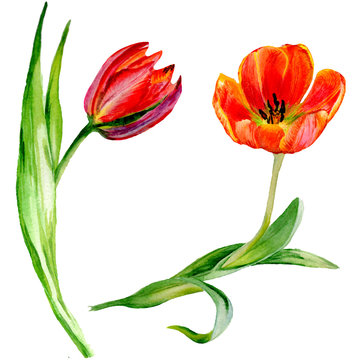 Amazing red tulip flower with green leaf. Isolated hand drawn botanical flower. Watercolor background illustration set.