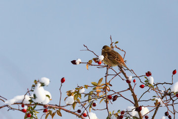 sparrow hidden among willow branches in winter day