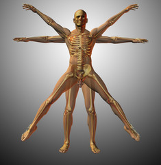 Anatomical vitruvian man
