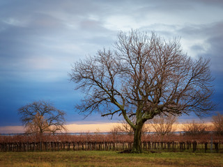 Trees and vineyards at lake neusiedlersee in Burgenland
