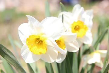 Photo sur Aluminium daffodils on white background