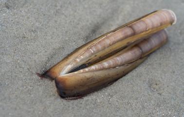 Scheidenmuschel am Strand