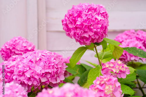 The Joy Of Garden Blossoming Flowers In Summer Pink Hydrangea Full