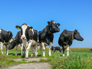 Low-angle frontal view of four cows standing side by side in the sun, on the grass, below a blue sky