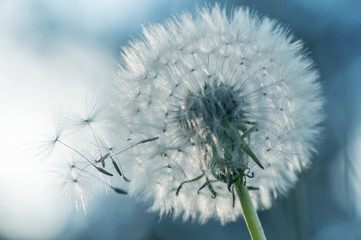 closeup silhouette of dandelion flower on pastel blue background. summer macro