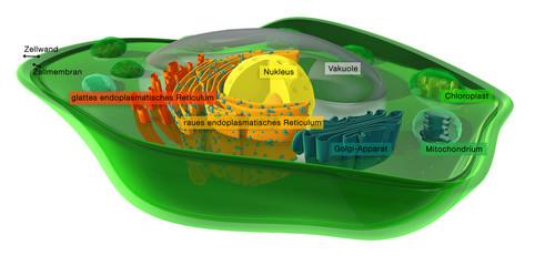 Pflanzenzelle mit Benennung