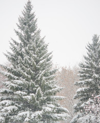 fir tree branch with snow