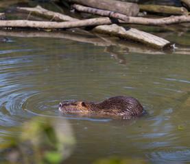 beaver in a zoo