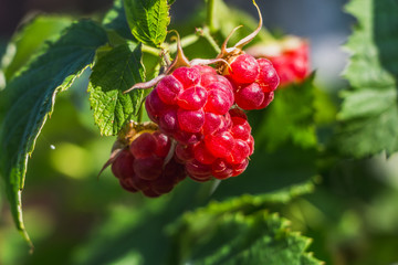 The twigs of group of red fresh ripe raspberry berries on a raspberry bush with bright green leaves and buds