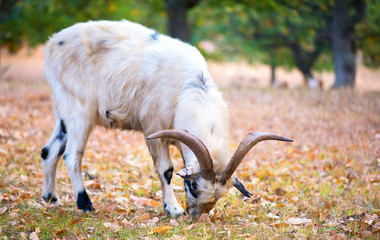 Beautiful white goat alone