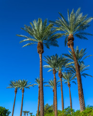 Grove of tall palm trees with a clear blue sky