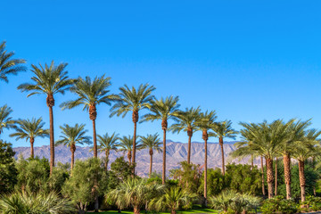 Foto op Canvas Palm boom Green landscape with a row of palm trees and mountain range in the background in the Coachella Valley in California