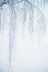 Natural background: the branches of the trees covered frost, close-up