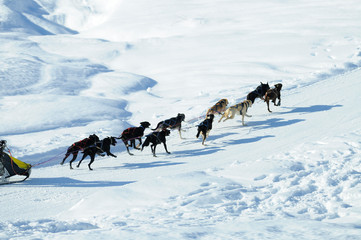 sled dogs running through deep snow