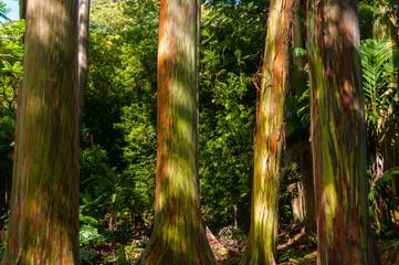 Rainbow Eucalyptus Tree, Maui, Hawaii, USA