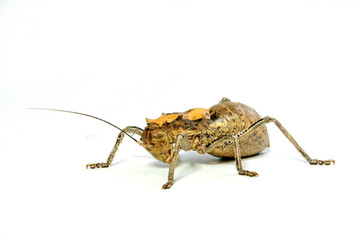 Riesenkampfgrille (Madiga cf. liberiana) - armoured ground cricket