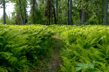 Ferns in forest, Talkeetna, Alaska, USA