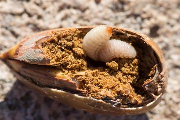 Acorn weevil larvae