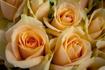 Beautiful roses close-up picture