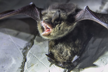 Angry pair of bats disturbed during hibernation