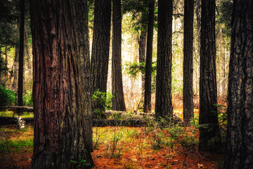 Vibrant Forest, Yosemite National Park, California