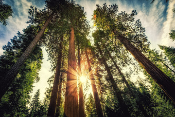 Sunrise on the Sequoias, Mariposa Grove, Yosemite National Park, California  Wall mural