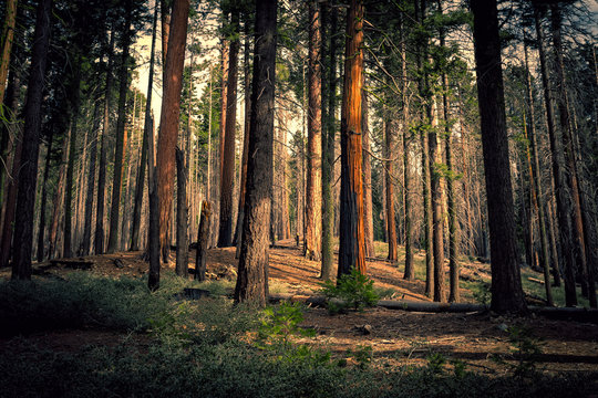 Old Forest, Mariposa Grove, Yosemite National Park, California