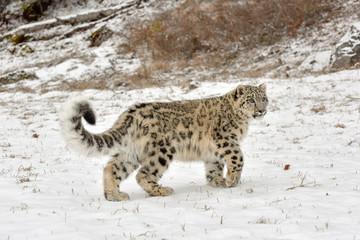 Snow Leopard Cub Walking through the Snow