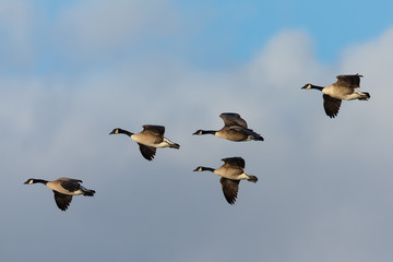Canada geese flying in formation against clouds, seen in the wild near the San Francisco Bay