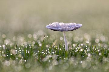 Pliz im Gras mit Morgentau vor unscharfem Hintergrund