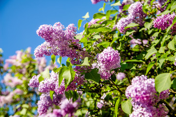 Spoed Fotobehang Lilac Pink lilac blooms in the Botanical garden