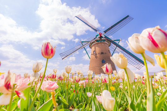 日本の春 千葉県 佐倉のチューリップ畑