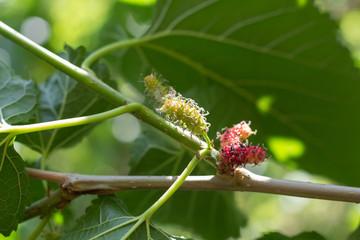 Fresh ripe mulberry berries on tree - Fresh mulberry, black ripe and red unripe mulberries on the branch. black and red Mulberry fruit on the branch.