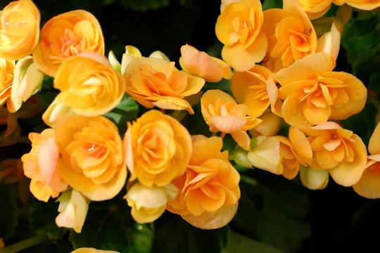 beautiful yellow begonia flower