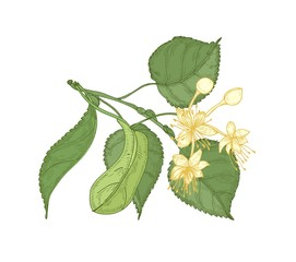 Natural detailed drawing of linden sprig with leaves and beautiful blooming flowers. Gorgeous medicinal plant hand drawn on white background. Decorative design element. Botanical vector illustration.