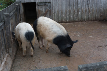 Two spotted young pigs