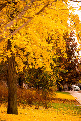 Autumn colours and leaves gingko biloba