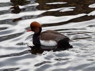 Netta rufina - Canard mâle Nette rousse à la tête roux vif, bec rose,  nageant à la surface d'un plan d'eau.