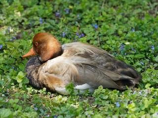 Netta rufina - Canard mâle nette rousse couché dans l'herbe